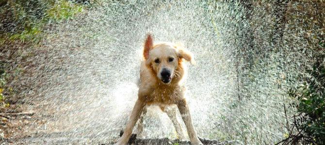 Perché il cane si scuote?